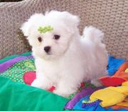 Adorable Maltese Puppies For A New Homes